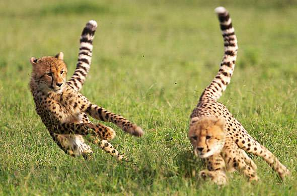 Facts About Cheetahs Kruger Park Wildlife