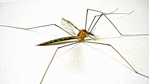 A malaria carrying mosquito.