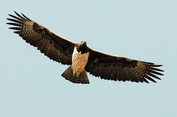 African Hawk Eagle. G Cooke