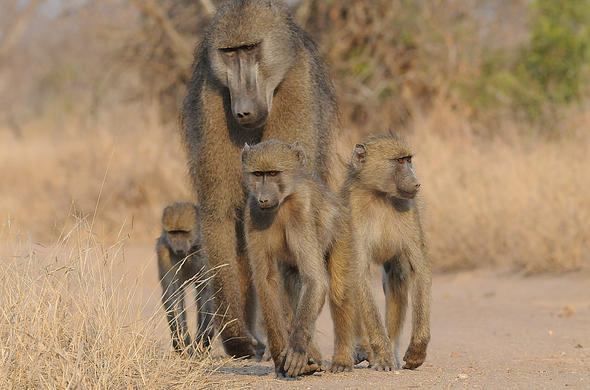 Baboon with three young