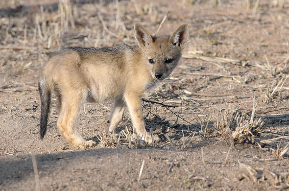 Bat-earred Fox Pup