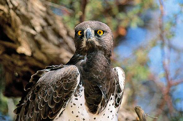 Martial Eagle © Brett Hilton-Barber