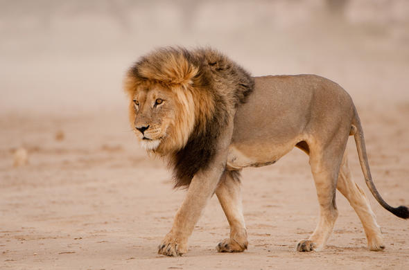 Lion Leo Panthera African Big Five Animals