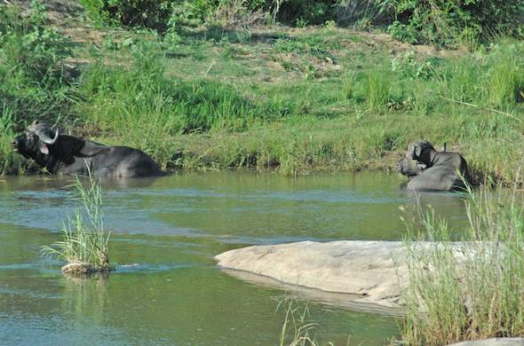 Buffalo wallow ina river