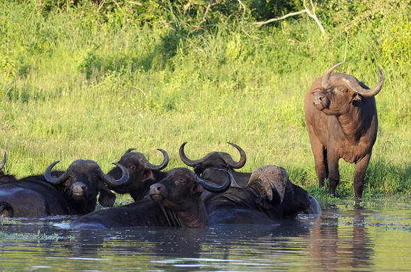 Buffalo cooling of in river. G Cooke