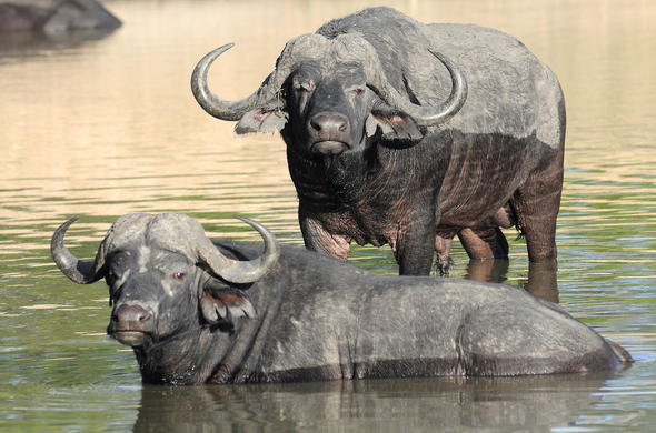 Buffalo wallowing in a river