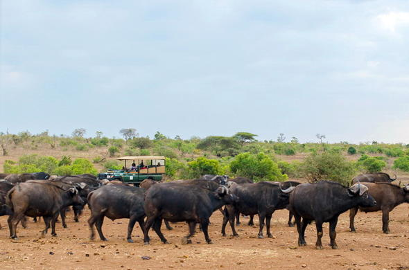 A herd of buffalo in the Kruger National Park.