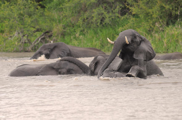 Elphants frolicking in a river