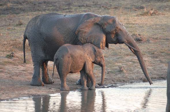 Elephant and calf at river. G Cooke