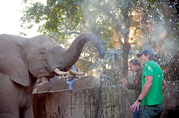 Playful African elephant spraying guests with water.