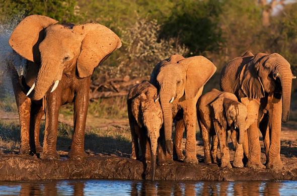 Elephants at sunset waterhole. R Miller