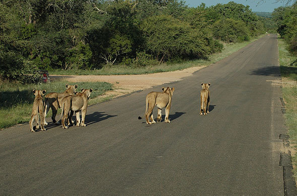 Lions on road in Kruger