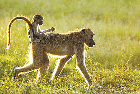 Baboon with baby. Michael Poliza