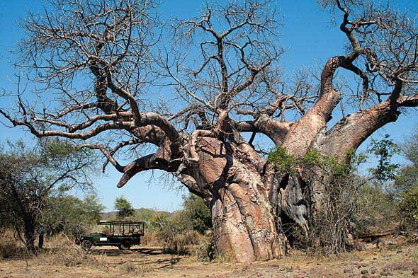 Big Baobab at Makulele. Brett Hilton-Barber