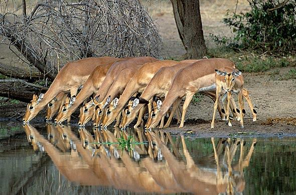 Impala at a waterhole. Nigel Dennis