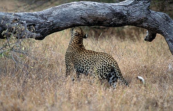 Leopard sniffing for clues. Albert Froneman