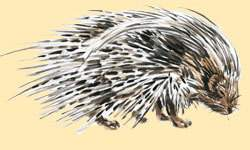 South African Porcupine.