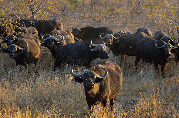 Buffalo on the move. Nigel Dennis