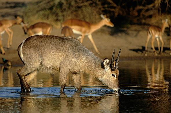 Waterbuck. Nigel Dennis