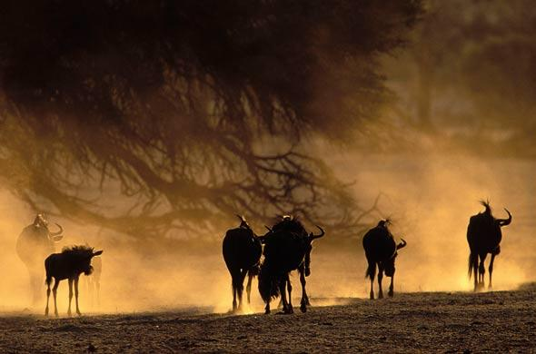 Wildebeete on the move at dusk. Nigel Dennis