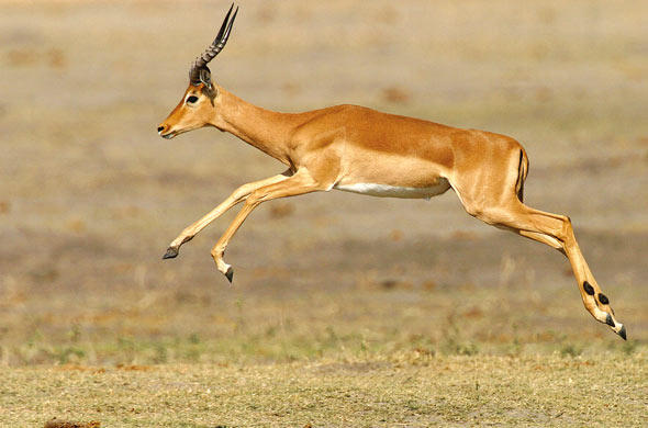 Fleeing Impala. African Wilderness