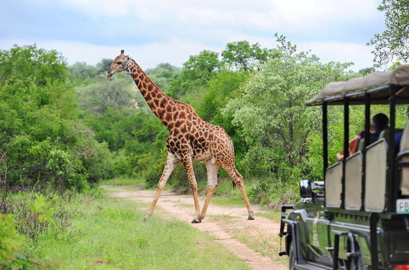 Giraffe sighting on a game drive in the Kruger National Park.