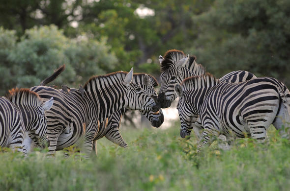 Group of Zebra. G Cooke