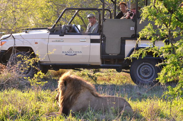 Lion spotted on Hamiltons Tented Camp game drive in Kruger.
