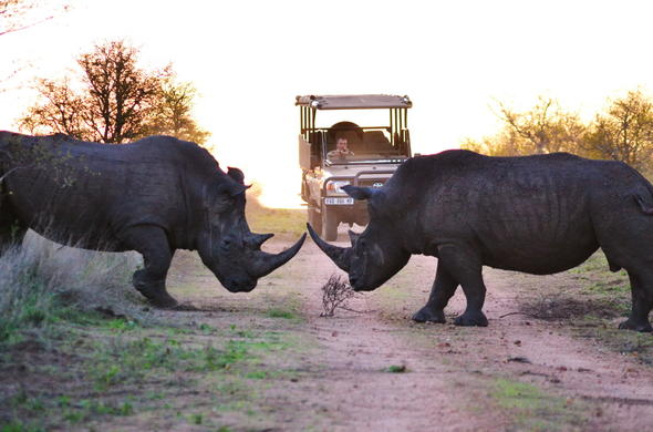 Thrilling rhino sighting during a game drive in the Kruger Park.