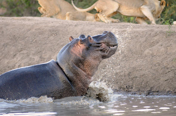 Hippo chasing off lions