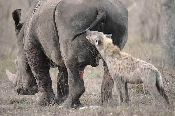 Hyena and Rhino