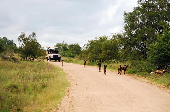 During an afternoon game drive a pack of wild dogs where spotted in the Kruger National Park.