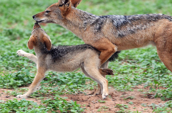 Jackals on the run