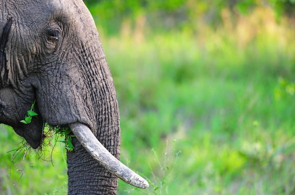 Elephant of Kruger National Park.