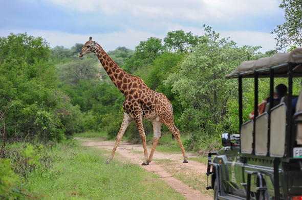 Spotting a giraffe while on safari in Kruger National Park.