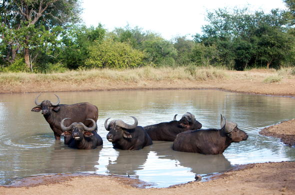 Herd of buffalo in the Kapama Private Game Reserve bordering the Kruger National Park.