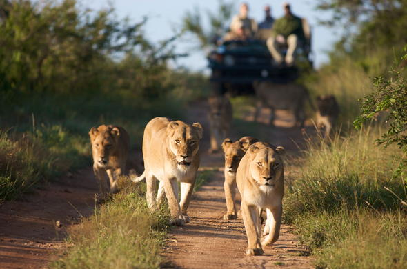Kruger Park lions spotted during an game drive in Kapama Game Reserve.