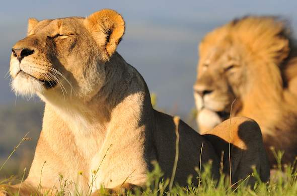 Lions taking a moment to enjoy the African sun on their faces.