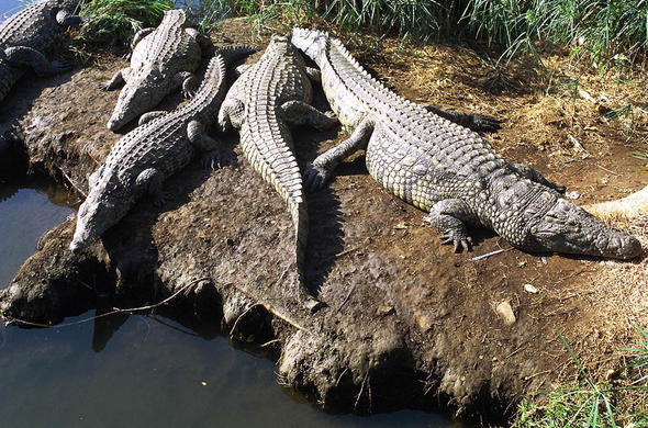 Crocodiles of Kruger