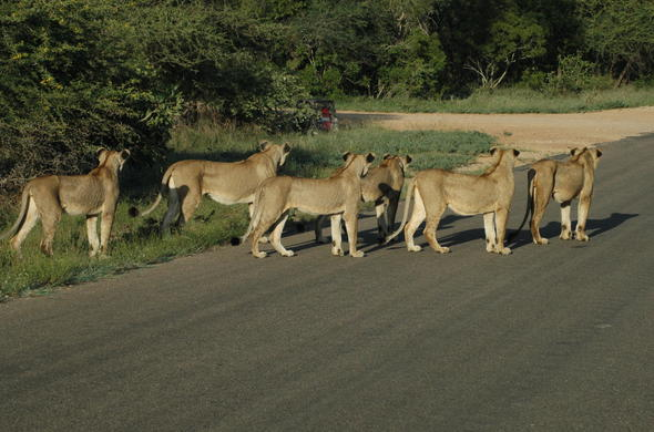 Lions in the road