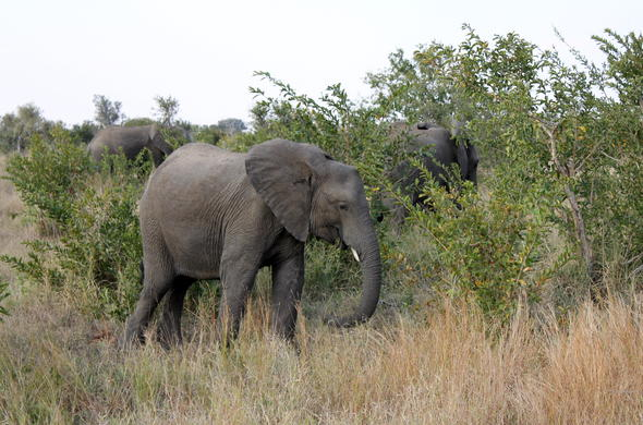 Elephant sighting during a game drive in the Kruger National Park.