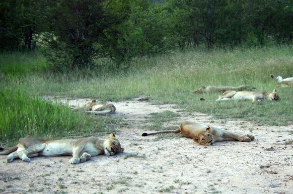Pride of lions spotted during a game drive in Kruger National PArk.