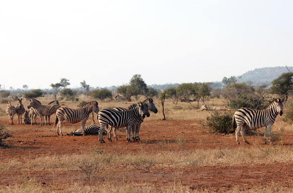 Sighting of a dazzle of zebra during a Kruger National Park safari.