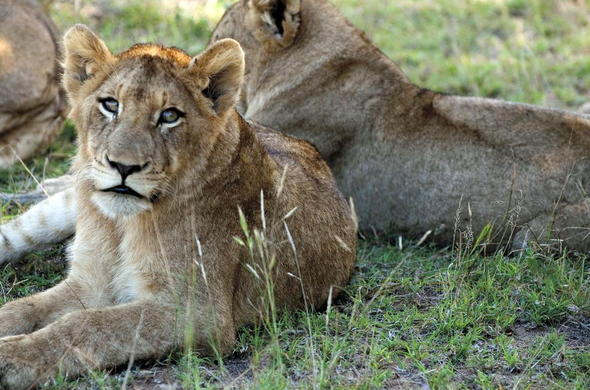 Spot lions during a Kruger Park game drive.