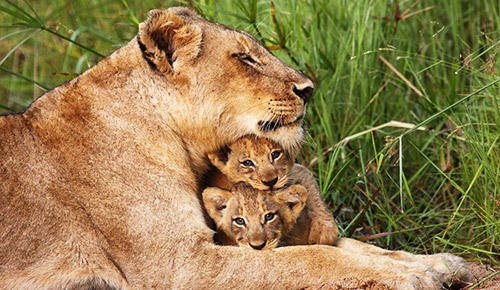 Lion with cubs.