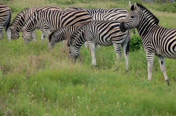 A dazzle of zebra in Kruger Park.