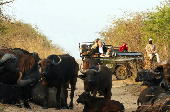 Buffalo herd sighting during open safari vehicle game drive in Kruger.