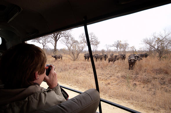 Herd of buffalo sighting during a Kruger Park game drive.