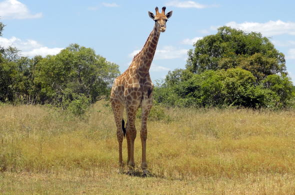 See Giraffes in Kruger Park during game drives.