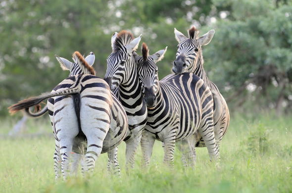 Dazzle of zebra in the Kruger National Park, South Africa.